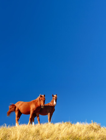 graze: Horses graze in the yellow grass on a blue background. Picturesque and gorgeous scene. Location place Carpathian, Ukraine, Europe. Artistic picture. Beauty world.