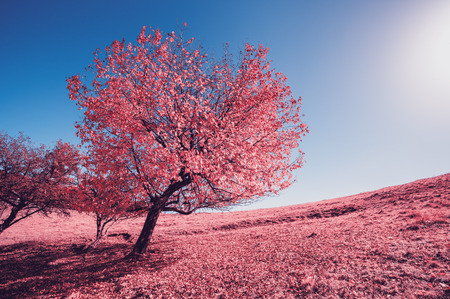Majestic alone birch tree on a hill slope with sunny beams at mountain valley. Dramatic morning scene. Infrared picture. Blue sky and red leaves. Carpathians, Ukraine, Europe. Beauty world.