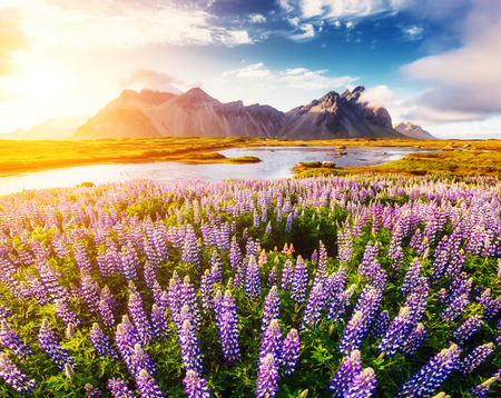 Great  view of  lupine flowers glowing by sunlight. Majestic and gorgeous scene. Location famous place Stokksnes cape, Vestrahorn (Batman Mountain), Iceland, Europe. Artistic picture. Beauty world. Stock Photo