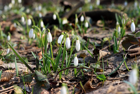 Backlighting with spring sun snowdrops. First spring flowers