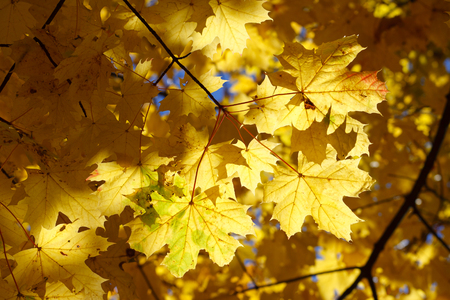 Yellow and orange maple leaves in autumn forest