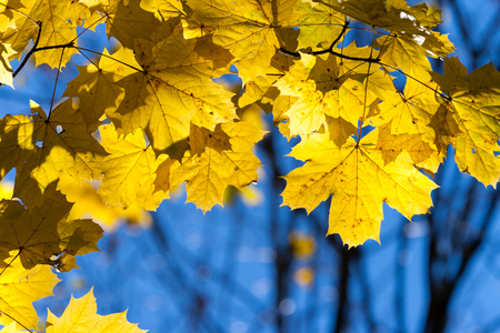 Yellow leaves on the branches in the autumn forest.
