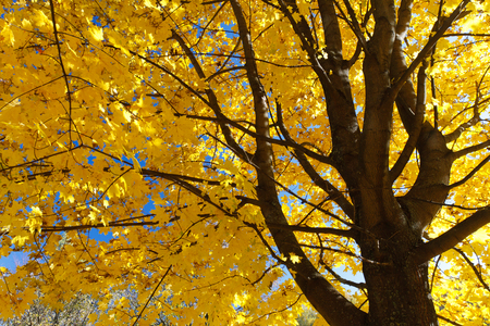 Yellow maple leaves on the branches in the autumn forest. Фото со стока
