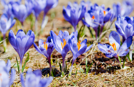 Springtime is the moment for this beautiful flower Stock Photo