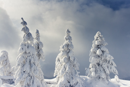 木は、山で雪と霧氷で覆われています。