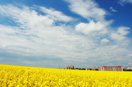 Yellow field rapeseed in bloom with blue sky and white clouds Фото со стока