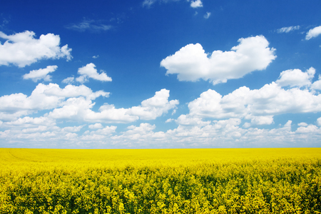 Yellow field rapeseed in bloom with blue sky and white clouds Banco de Imagens