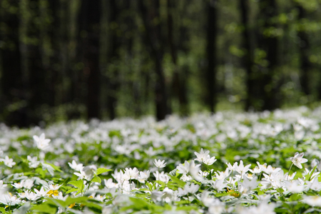 Anemone forest at springtime. Wild spring flowers