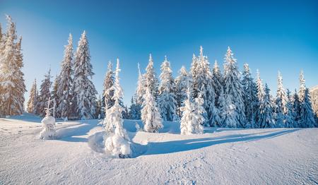 장엄한 겨울 햇빛에 의해 빛나는 나무. 위치 장소대로 국립 공원, 우크라이나, 유럽입니다.