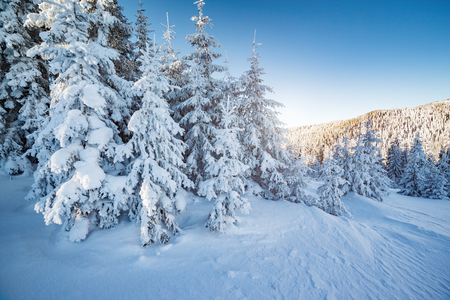 Majestic winter trees glowing by sunlight. Location place Carpathian national park, Ukraine, Europe. Stock Photo