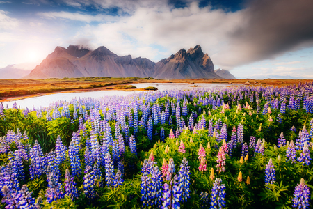Magical lupine flowers glowing by sunlight. Unusual and gorgeous scene. Popular tourist attraction. Location famous place Stokksnes cape, Vestrahorn (Batman Mountain), Iceland, Europe. Beauty world. Stock Photo