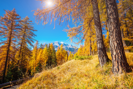 Magical yellow larches glowing in the sunshine. Unusual and gorgeous scene. Tourist attraction. Location place Dolomiti Alps, Cortina dAmpezzo, Veneto, province Belluno, Italy, Europe. Beauty world.