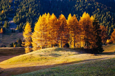 Lovely yellow larches in sunlight. Unique and gorgeous scene. Location place Dolomiti, Compaccio village, Seiser Alm or Alpe di Siusi, Province of Bolzano - South Tyrol, Italy, Europe.