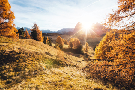 Lovely yellow larches in sunlight. Unusual and gorgeous scene. Location place Dolomiti, Compaccio village, Seiser Alm or Alpe di Siusi, Province of Bolzano - South Tyrol, Italy, Europe. Stock Photo