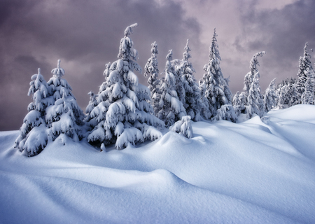 Magic white spruces glowing by sunlight. Picturesque and gorgeous wintry scene. Location place Carpathian national park, Ukraine, Europe.