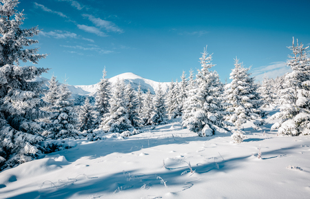 Majestic white spruces glowing by sunlight. Magic and unusual wintry scene. Location place Carpathian national park, Ukraine, Europe. Stock Photo - 87662623