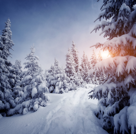 Magic white spruces glowing by sunlight. Picturesque and gorgeous wintry scene. Location place Carpathian national park, Ukraine, Europe. Stock Photo - 87662578
