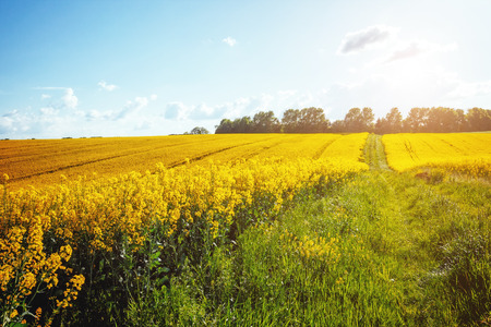 Magnificent views of the endless canola field on a sunny day. Picturesque and gorgeous scene. Location place Ukraine