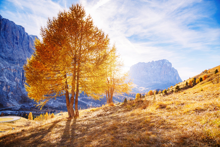 Bright yellow larches glowing in the sunlight. Picturesque and gorgeous scene. Popular tourist attraction. Location place Dolomiti Alps, Cortina dAmpezzo, Passo Gardena, Italy Stock Photo
