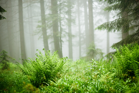 The gloomy pine forest shrouded with thick fog in the morning. Dramatic scene and picturesque picture. Location place Carpathian, Ukraine, Europe.