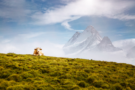 Cows relax on alpine hills in sun beams. Picturesque and gorgeous day scene. Location place Berner Oberland, Grindelwald, Switzerland.