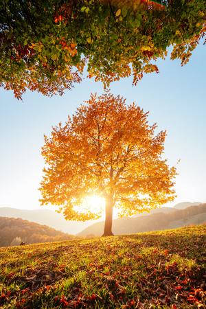 Błyszczący buk na zboczu wzgórza ze słonecznymi belkami w górskiej dolinie. Dramatyczna scena poranna. Czerwone i żółte jesienne liście. Miejsce lokalizacji Karpaty, Ukraina, Europa.