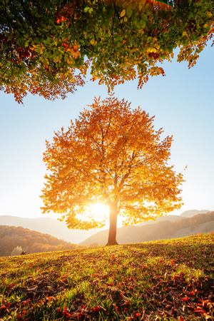 Shiny beech tree on a hill slope with sunny beams at mountain valley. Dramatic morning scene. Red and yellow autumn leaves. Location place Carpathians, Ukraine, Europe.