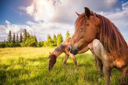 Des chevaux sales paissent dans le pâturage éclairé par le soleil. Scène pittoresque et magnifique. Lieu place Carpathian, Ukraine, Europe. Monde de la beauté. Banque d'images - 95598419