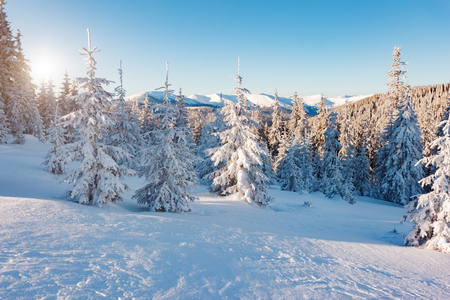 Majestic winter trees glowing by sunlight. Picturesque and gorgeous wintry scene. Location place Carpathian national park, Ukraine, Europe. Alps ski resort. Beauty world. Blue toning. Happy New Year! Stock Photo