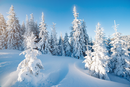 Majestic winter trees glowing by sunlight. Picturesque and gorgeous wintry scene. Location place Carpathian national park, Ukraine, Europe. Alps ski resort. Beauty world. Blue toning. Happy New Year! Standard-Bild