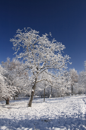 Winter tree covered with fresh snow