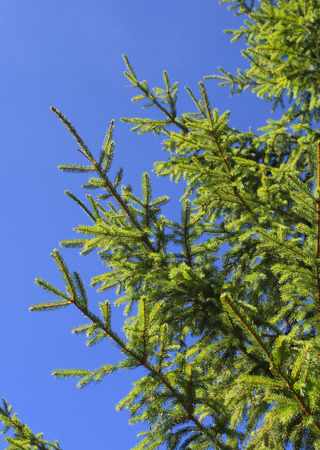 fir tree branch isolated on blue background 스톡 콘텐츠