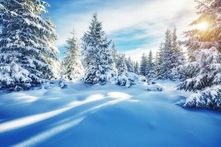 Majestic white spruces glowing by sunlight. Magic and unusual wintry scene. Location place Carpathian national park, Ukraine, Europe. Blue toning. Happy New Year! Beauty world.