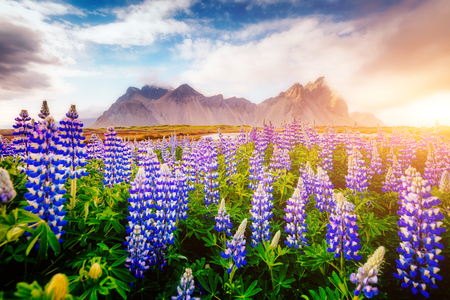 Magical lupine flowers glowing by sunlight. Unusual and gorgeous scene. Popular tourist attraction. Location famous place Stokksnes cape, Vestrahorn (Batman Mountain), Iceland, Europe. Beauty world. Stok Fotoğraf