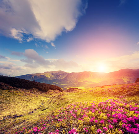 Magical pink rhododendron flowers in day light. Picturesque and gorgeous morning scene. Location place National park Chornogora, Carpathian, Ukraine, Europe. Discover the world of beauty.  Stock Photo
