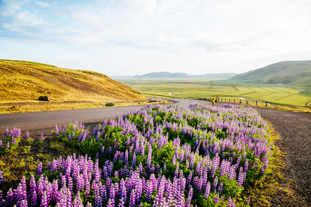 Magical blooming lupine valley glowing by sunlight in day. Unusual and gorgeous morning scene. Popular tourist attraction. Location place south Iceland, Europe. Discover the world of beauty. Stock Photo