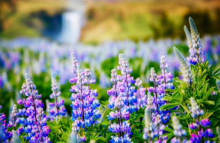 Lovely blooming lupine glowing by sunlight in day. Unusual and gorgeous scene. Popular tourist attraction. Location place Skogafoss waterfall, Skoga river, highlands of Iceland, Europe. Beauty world.