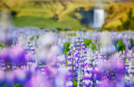 Lovely blooming lupine glowing by sunlight in day. Unusual and gorgeous scene. Popular tourist attraction. Location place Skogafoss waterfall, Skoga river, highlands of Iceland, Europe. Beauty world. Stock fotó
