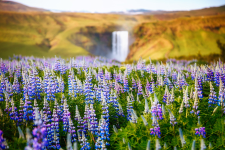 Lovely blooming lupine glowing by sunlight in day. Dramatic and gorgeous scene. Popular tourist attraction. Location place Skogafoss waterfall, Skoga river, highlands of Iceland, Europe. Beauty world Stock Photo