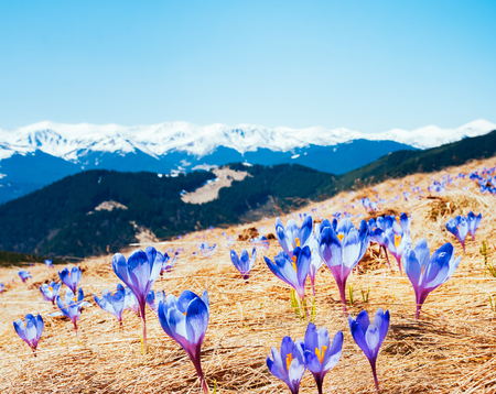 Awesome first flowers in the alpine valley. Gorgeous day and picturesque scene. Location place of Carpathian, Ukraine, Europe. Natural composition. Explore the worlds beauty and wildlife. Stock Photo