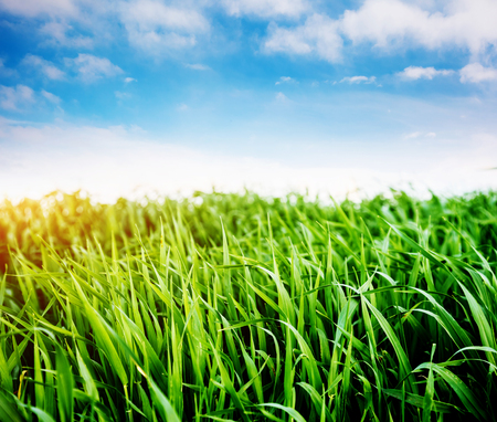 Bright lush grass in sunlight. Picturesque day and gorgeous scene. Location rural place of Ukraine, Europe. Wonderful image of wallpaper. Concept ecology protection. Explore the world's beauty. Фото со стока - 101340896