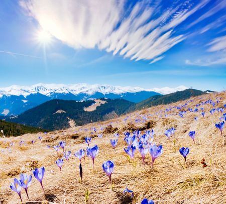 Awesome first flowers in the alpine valley. Gorgeous day and picturesque scene. Location place of Carpathian, Ukraine, Europe. Wonderful image of wallpaper. Explore the world's beauty and wildlife.