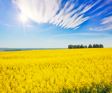 Great canola field in sunlight. Gorgeous day and picturesque scene. Location rural place of Ukraine, Europe. Wonderful image of wallpaper. Ecology concept, global warming. Explore the worlds beauty. Фото со стока