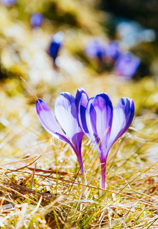 Stunning first flowers in the dry yellow grass. Gorgeous day and picturesque scene. Location place of Ukraine Europe. Wonderful wallpaper. Closeup composition. Explore the worlds beauty and wildlife 写真素材