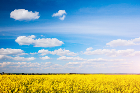 Vivid canola field with white fluffy clouds. Gorgeous day and picturesque scene. Location rural place of Ukraine, Europe. Wonderful image of wallpaper. Ecology concept. Explore the worlds beauty.