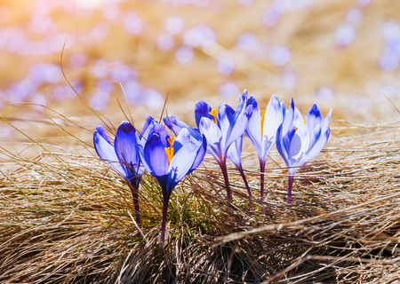 Stunning first flowers in the dry yellow grass. Gorgeous day and lovely scene. Location place Tatras mountain Poland. Wonderful wallpaper. Closeup composition. Explore the worlds beauty and wildlife