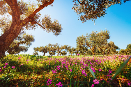 Splendid olive orchard in blossom. Picturesque day and gorgeous scene. Fairy forest in springtime. Location Sicilia island, Italy, Europe. Creative natural wallpaper. Explore the worlds beauty. Stock Photo