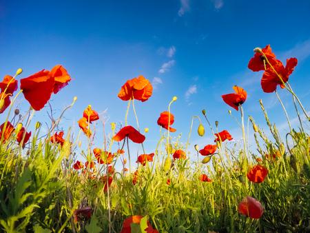 Amapolas rojas florecientes en campo contra el sol, cielo azul. Flores silvestres en primavera. Día dramático y escena hermosa. Maravillosa imagen de papel tapiz. Explore la belleza del mundo. Cuadro artístico.