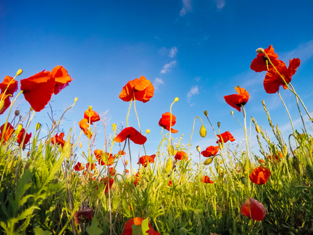 Blooming red poppies on field against the sun, blue sky. Wild flowers in springtime. Dramatic day and gorgeous scene. Wonderful image of wallpaper. Explore the worlds beauty. Artistic picture. Stok Fotoğraf