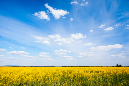 Vivid canola field in sunlight. Gorgeous day and picturesque scene. Location rural place of Ukraine, Europe. Wonderful image of wallpaper. Ecology concept, global warming. Explore the worlds beauty.  Фото со стока